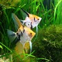 freshwater fish - pterophyllum sp. - koi angel stocking in 86 gallons tank - This is one of my best couple of angel fish.