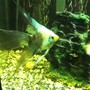 freshwater fish - pterophyllum scalare - veil angel stocking in 38 gallons tank - Paraiba before switch to tahitian moon sand.