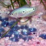 freshwater fish - trichogaster trichopterus - blue gourami stocking in 11 gallons tank - my 4'' moonlight gourami, keept in a well stablished community tank with (mistake?) 2 goldfish