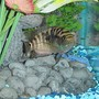 freshwater fish - nandopsis octofasciatum - jack dempsey stocking in 55 gallons tank - Young Jack Dempsey