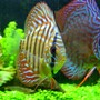 "freshwater fish - red spotted green discus stocking in 46 gallons tank - ""Tank and Bertha"" - Red Spotted Green Discus - 1.5"" and 3.5"""