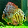 "freshwater fish - symphysodon spp. - snakeskin discus stocking in 46 gallons tank - ""Tank and Bertha"" - Red Spotted Green Discus - 1.5"" and 3.5"""