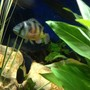 freshwater fish - astatotilapia latifasciata - zebra obliquidens stocking in 58 gallons tank - Ollie