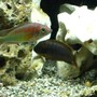 freshwater fish - iodotropheus sprengerae - rusty cichlid stocking in 55 gallons tank - Kyoga flameback and rusty