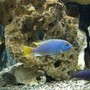 freshwater fish - pseudotropheus acei - acei cichlid stocking in 55 gallons tank - Acei and afra