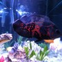 freshwater fish - astronotus ocellatus - tiger oscar stocking in 110 gallons tank - None