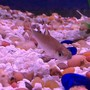 freshwater fish - balantiocheilus melanopterus - bala shark stocking in 135 gallons tank - 24 beautiful fish.