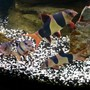 freshwater fish - botia macracantha - clown loach stocking in 95 gallons tank - My 20 year old Clown Loach got him in 1994 . The smaller guys are about 8 years.