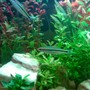 freshwater fish - sahyadria denisonii - denison barb stocking in 50 gallons tank - Denison barbs