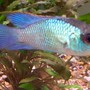 freshwater fish stocking in 50 gallons tank - Electric blue acara