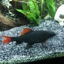 freshwater fish stocking in 60 gallons tank - Red-tailed black shark