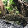 freshwater fish stocking in 60 gallons tank - Synodontis eupterus