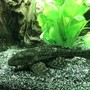 freshwater fish stocking in 60 gallons tank - Hypostomus Plecostomus