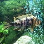 freshwater fish stocking in 60 gallons tank - Orange Blossom