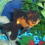 freshwater fish - carassius auratus - panda oranda goldfish stocking in 72 gallons tank - Goldfish, Red and Black Oranda