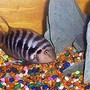 freshwater fish - archocentrus nigrofasciatus - black convict cichlid stocking in 45 gallons tank