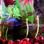 freshwater fish - betta splendens - betta - female stocking in 60 gallons tank - Female betta