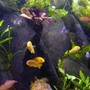 freshwater fish - pseudotropheus acei - acei cichlid stocking in 45 gallons tank - A family outing,
