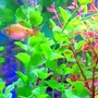 freshwater fish - puntius conchonius - rosy barb stocking in 20 gallons tank - Mr. Rosie