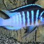 freshwater fish - metriaclima sp. - zebra chilumba stocking in 180 gallons tank - A dominant male Black-barred zebra (metriaclima sp. zebra 'chilumba'...also known as the BB zebra; an african cichlid originating from Lake Malawi. This aggressive mbuna grows up to 8 inches.