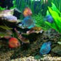 freshwater fish - symphysodon sp. - royal red discus stocking in 56 gallons tank - Assorted Discus