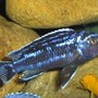 freshwater fish - melanochromis johannii - johanni cichlid stocking in 120 gallons tank - electrice blue
