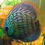freshwater fish - symphysodon spp. - snakeskin discus stocking in 72 gallons tank - Blue/Red Discus 5 Inch