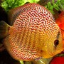 freshwater fish - symphysodon spp. - pigeon blood discus stocking in 60 gallons tank - Checkerboard Discus