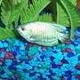 freshwater fish - colisa lalia - neon blue dwarf gourami stocking in 55 gallons tank - dwarf pale blue gourami