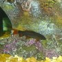 freshwater fish - epalzeorhynchos frenatus - rainbow shark stocking in 110 gallons tank - rainbow shark