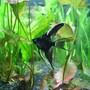 freshwater fish - pterophyllum sp. - black veil angel stocking in 55 gallons tank - one of our angels