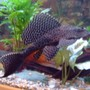 freshwater fish - glyptoperichthys gibbiceps - sailfin pleco (l-83) stocking in 75 gallons tank - i love my plec