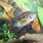 freshwater fish - aequidens rivulatus - green terror stocking in 125 gallons tank - green terror guarding her eggs
