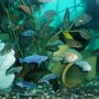 freshwater fish - metriaclima callainos - cobalt blue zebra cichlid stocking in 70 gallons tank - cichlides malawiii