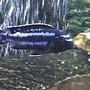 freshwater fish - melanochromis johannii - johanni cichlid stocking in 55 gallons tank - electric blue johanni 4 in.