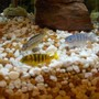 freshwater fish - metriaclima lombardoi - kenyi cichlid stocking in 45 gallons tank - 3 more of my cichlids