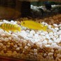 freshwater fish - labidochromis caeruleus - electric yellow cichlid stocking in 45 gallons tank - 2 of my yellow cichlids