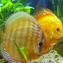 freshwater fish - symphysodon spp. - pigeon blood discus stocking in 190 gallons tank - discus2