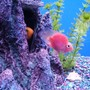 "freshwater fish - heros severus x amphilophus citrinellum - blood parrot stocking in 55 gallons tank - ""BUBBLES"" My Blood parrot"