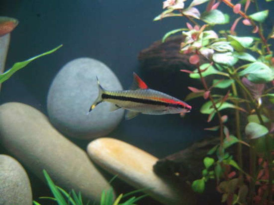 The Best Barbs For A Large Home Aquarium Ratemyfishtank Com