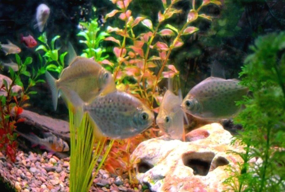 41x9hirschj 39 s freshwater fish photo id 1681 full for Best freshwater aquarium fish combination