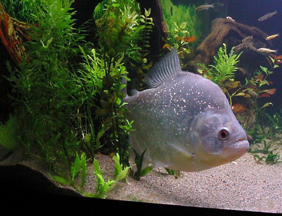 Dr zoidberg 39 s freshwater fish photo id 2116 full for Piranha fish tank