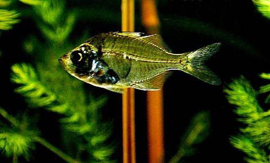 Hekuboshi's Freshwater Fish Details and Photos - Photo ...