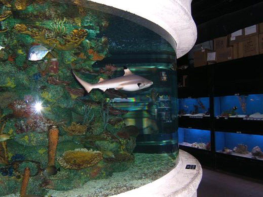 Black Tip Reef Shark At Work