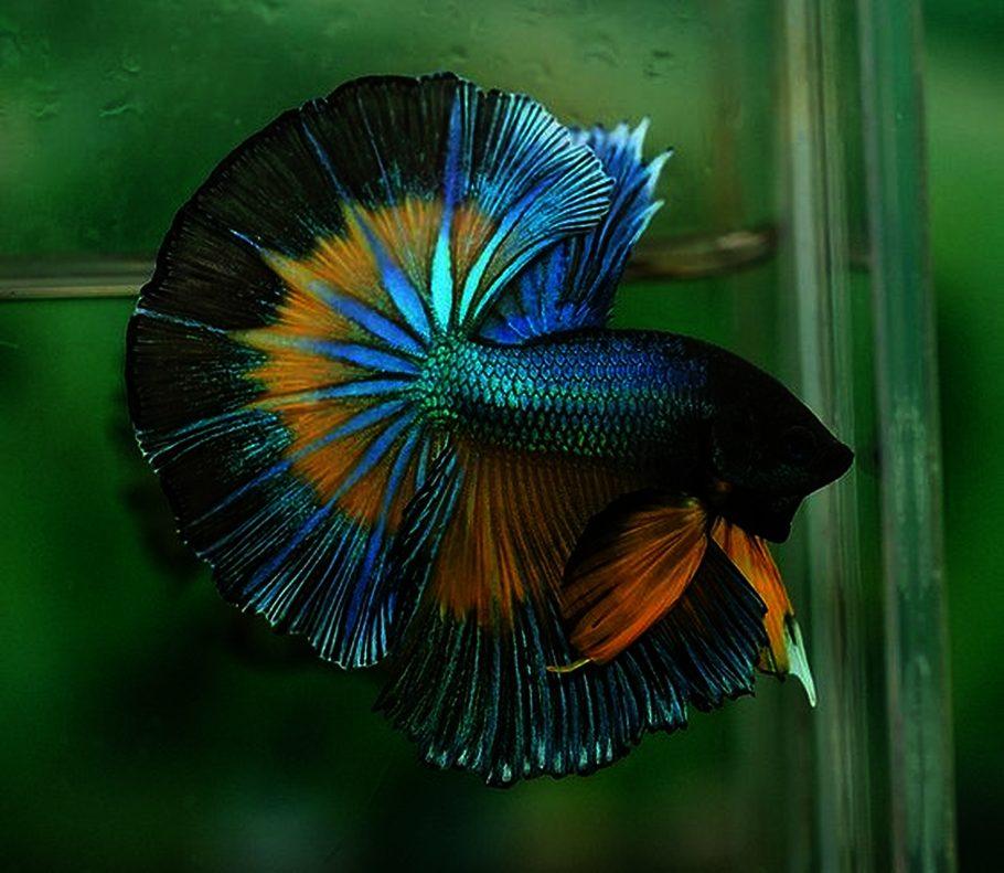 Most beautiful freshwater fish