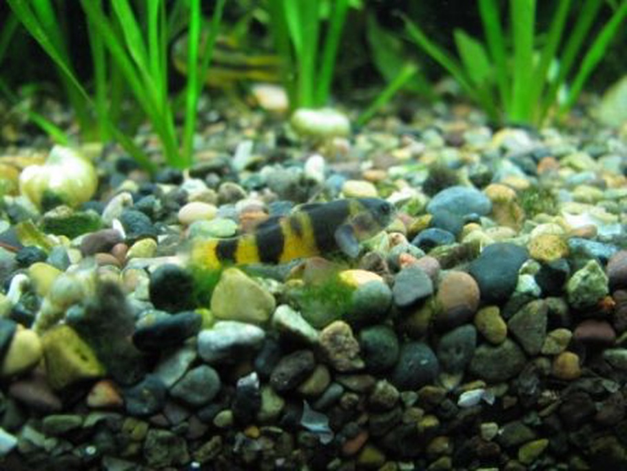 The top 6 freshwater goby species for your tank for Freshwater goby fish