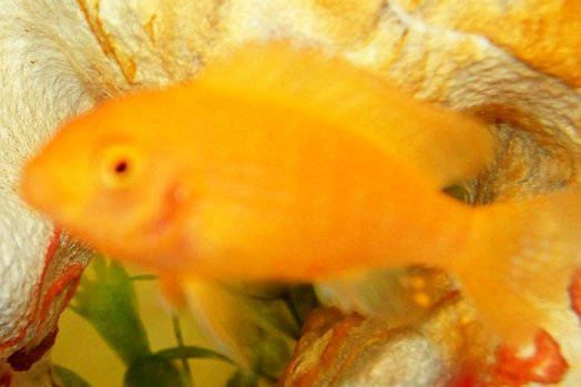 freshwater fish - pseudotropheus estherae - red zebra cichlid stocking in 29 gallons tank - zebra yellow