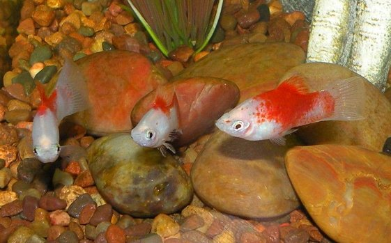 Red Wag Platy (xiphophorus Maculatus) Photos