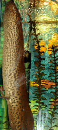 "freshwater fish - polypterus retropinnis - retropinnis bichir stocking in 90 gallons tank - 26"" african lungfish going up for a breath of air"