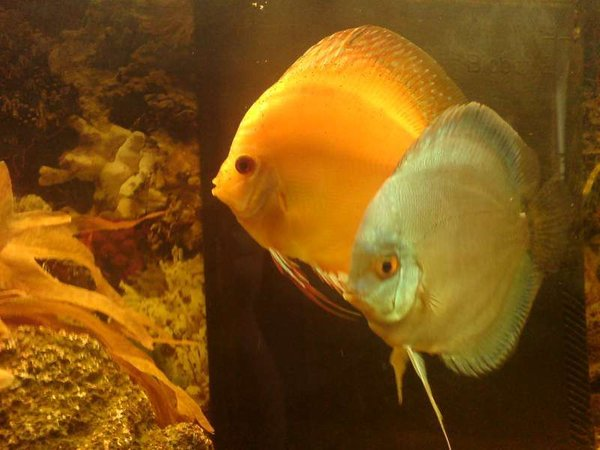 freshwater fish - symphysodon aequifaciatus haraldi - turquoise blue discus stocking in 40 gallons tank - Discus Turquoise Blue